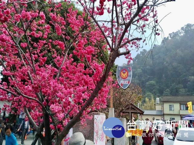 泰安派出所櫻花艷麗綻放 吸引遊客駐足拍照