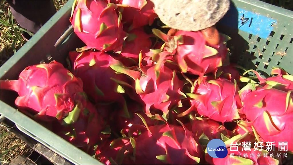 颱風進逼 農民憂災損搶收火龍果、葡萄