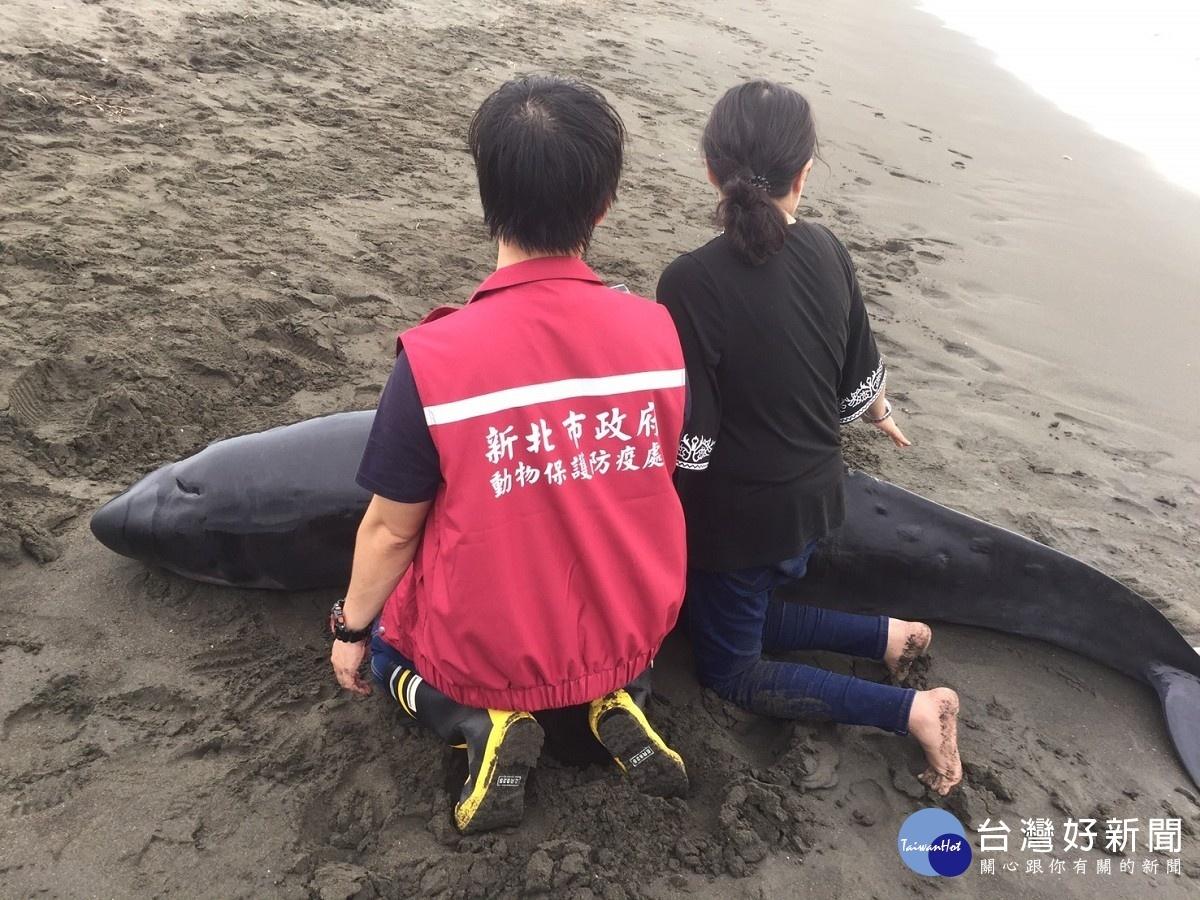 鯨豚擱淺八里區挖仔尾沙灘 動保處救援母鯨豚18小時幸野放成功
