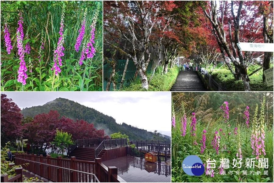 紫葉槭和毛地黃「風華正茂」 太平山上添美景
