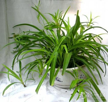 超級實用消除甲醛六大植物高手 甲醛去無蹤