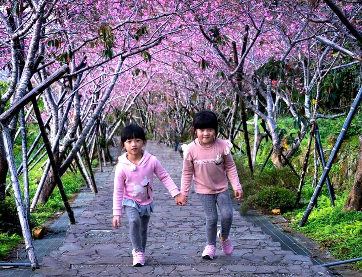 台大茶園河津櫻盛開 粉紅櫻花隧道宛如人間仙境