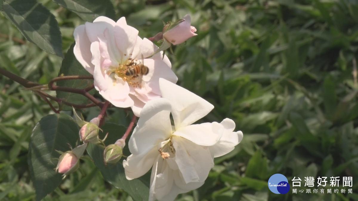 台北春季玫瑰展 700種玫瑰齊綻放_