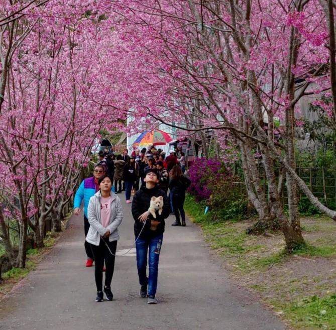春神降臨大地 拉拉山櫻花開遍滿山