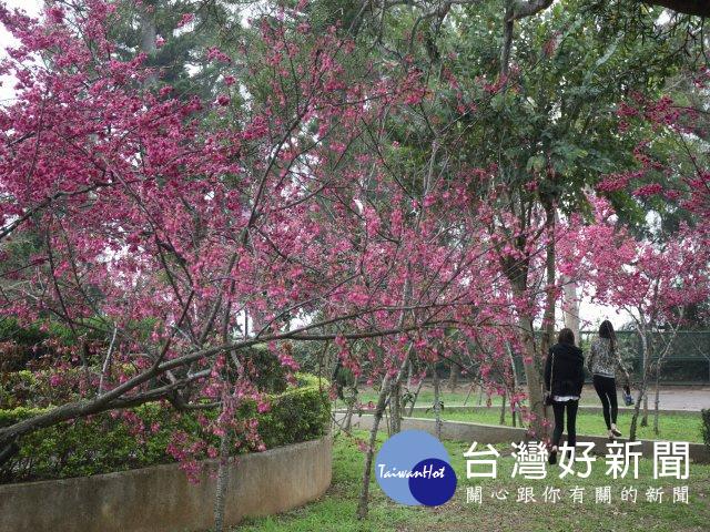 大甲鐵砧山櫻花盛開 上山賞花正是時候_