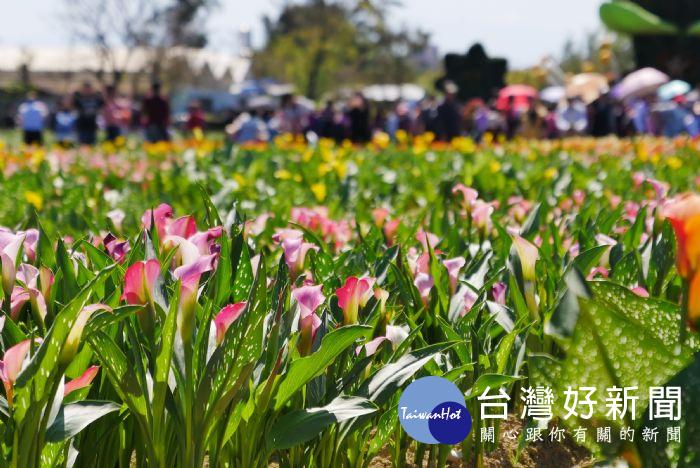 桃園彩色海芋季 首週末人潮突破23萬人次
