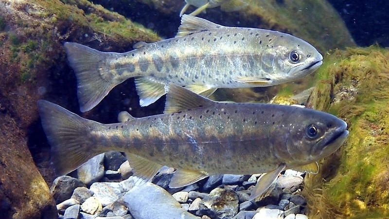 今年是「國寶魚」台灣櫻花鉤吻鮭命名100週年